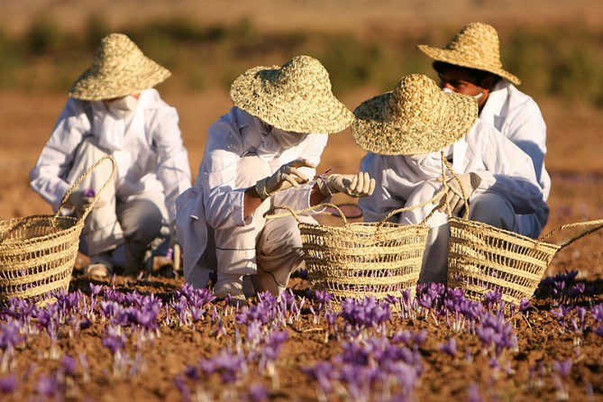 Harvesting saffron in Iran. Image:Safa.daneshvar reative Commons