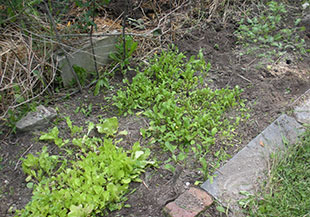 Lettuce, arugula, kale--a small planting in the old garlic bed. Photo: Cassandra Corcoran