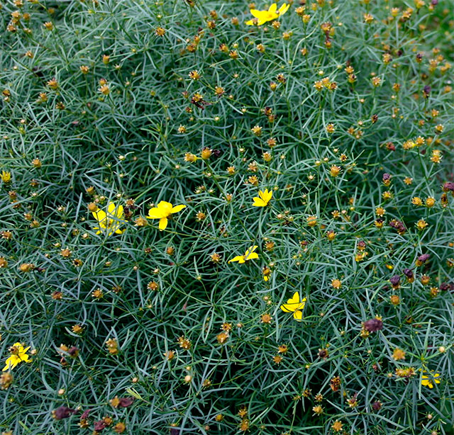 The end of coreopsis. Photo: George DeChant