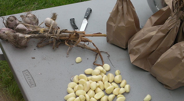 Here comes the garlic. Photo: Mary McCallion