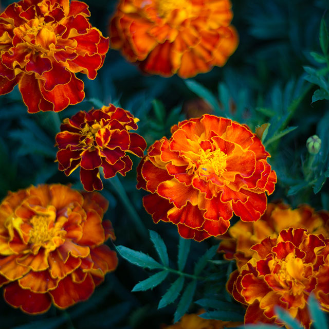 Still brilliant marigolds. Flowers and photo: Diane Romlein, Potsdam