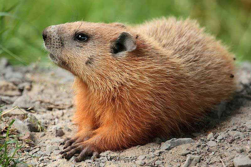 The groundhog, a.k.a the woodchuck, or marmot, or whistle-pig, or weatherman? Photo: Cephas, Creative Commons, some rights reserved