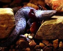 Necturus maculosus maculosus - Common mudpuppy. Image: National Park Service, Creative Commons