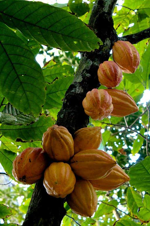 Cacao tree (Theobroma cacao) with fruit. Photo: Luisovalles, Creative Commons, some rights reserved