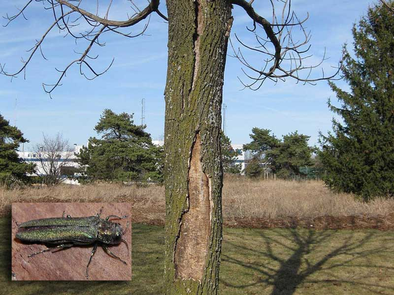 An ash tree killed by emerald ash borers. Photo: Penn State, Creative Commons, some rights reserved. Inset: Emerald ash borer. Photo: StopTheBeetle, Creative Commons, some rights reserved