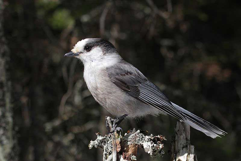 Gray jay.. Photo: Cephas, creative Commons, some rights reserved