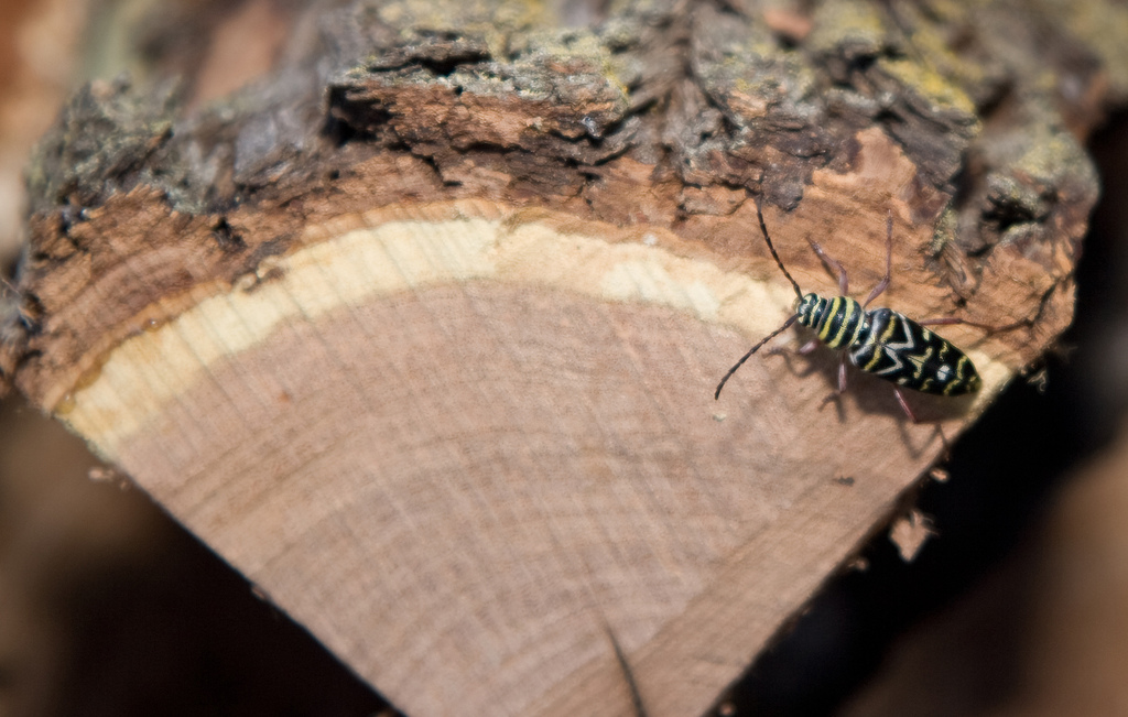 Locust borer in the firewood. Photo: Susan Adams, Creative Commons, some rights reserved