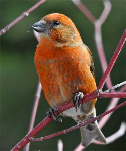 Red Crossbill male. Photo: Eugene Beckes, creative Commons, some rights reserved