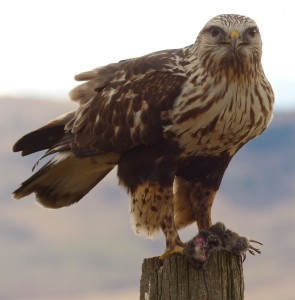 Rough-legged hawk. Photo: Eugene Beckes, creative Commons, some rights reserved