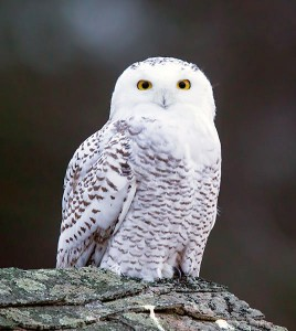 Snowy Owl. Photo: Larry Master