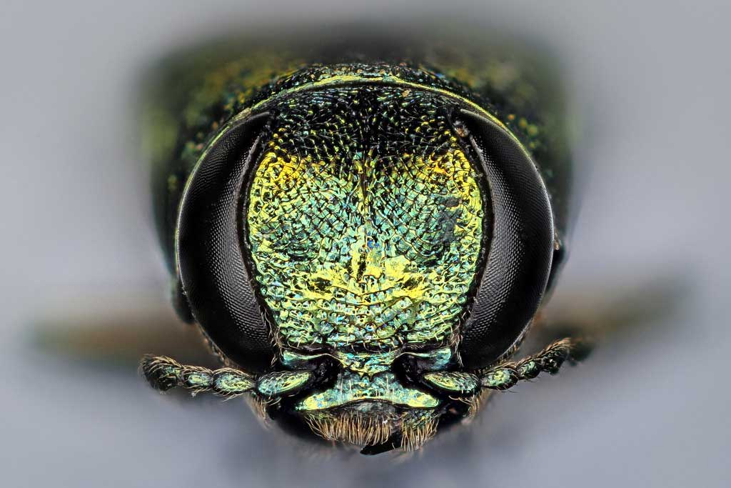 Emerald Ash Borer, in-your-face view. Photo: Macroscopic Solutions, Creative Commons, some rights reserved