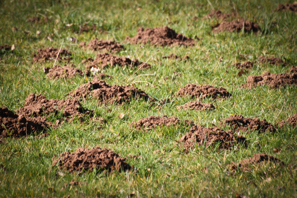 Molehills. Photo: Joanne Goldby, Creative Commons, some rights reserved
