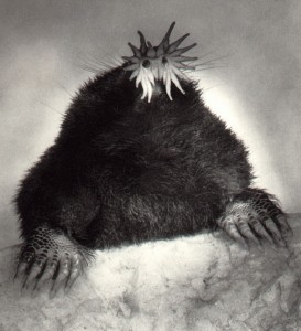 Star-nosed mole. A five-ounce mole can eat about 50 pounds of grubs and worms a year. Photo: Gordon Ramsay, Creative Commons, some rights reserved