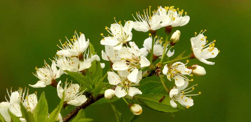 Hawthorn in bloom at the Guelph Arboretum. The flowers are good for the soul, and may strengthen cardiac muscle, too. Photo: Lesley Wilson, Creative Commons, some rights reserved