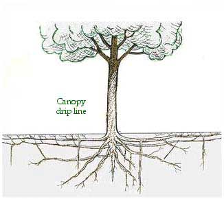 "Contrary to popular belief, 98% of a tree's root system is in the top 18 inches of soil, and exten out well beyond the canopy in a ""root plate"". Image: UCDavis"