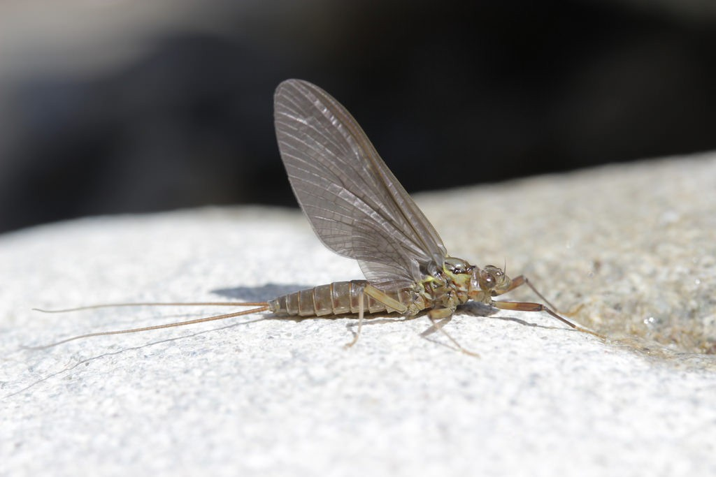 The longevity-challenged mayfly. Photo: Bjorn S., Creative Commons, some rights reserved