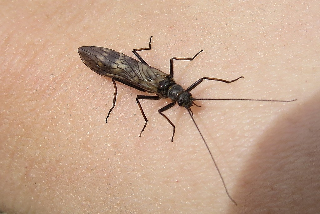 Stonefly on the windshield? You're near clean water. Photo: Lindsay, Creative Commons, some rights reserved