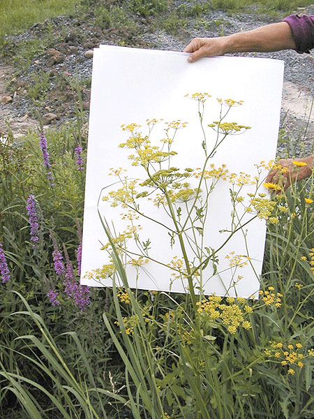 Wild parsnip. Photo: Amy Ivy