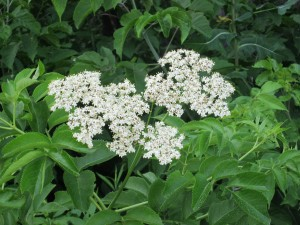 Elderflower Berry Flowers