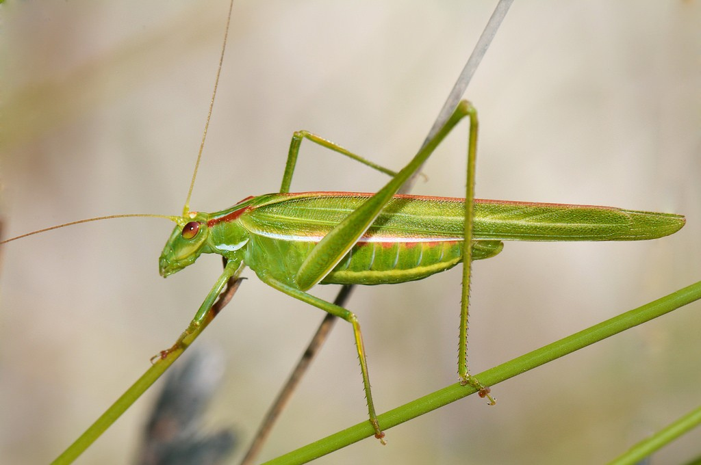Katydid. Photo: Jean and Fred, Creative Commons, some rights reserved