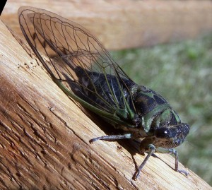 """Annual or """"dog-day"""" cicada. Photo: Bruce Martin, Creative Commons, some rights reserved"""