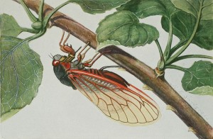"""Periodic or """"17-year"""" cicada. Illustration, plate 7, from """"Insects: their way and means of living,"""" R.E. Snodgrass/USDA"""