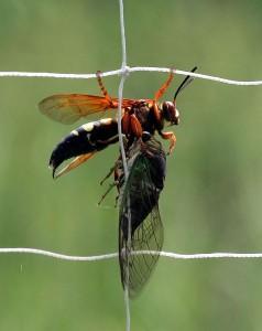 Cicada-killer wasp with paralyzed prey. Photo: Bill Buchanan, U.S. Fish and Wildlife Service
