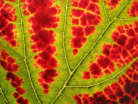 Chlorophyll still hangs on near the veins of this leaf, but the xanthophylls and carotenoids and anthocyanins are winning the battle. Photo: Nickel Eisen, Creative Commons, some rights reserved