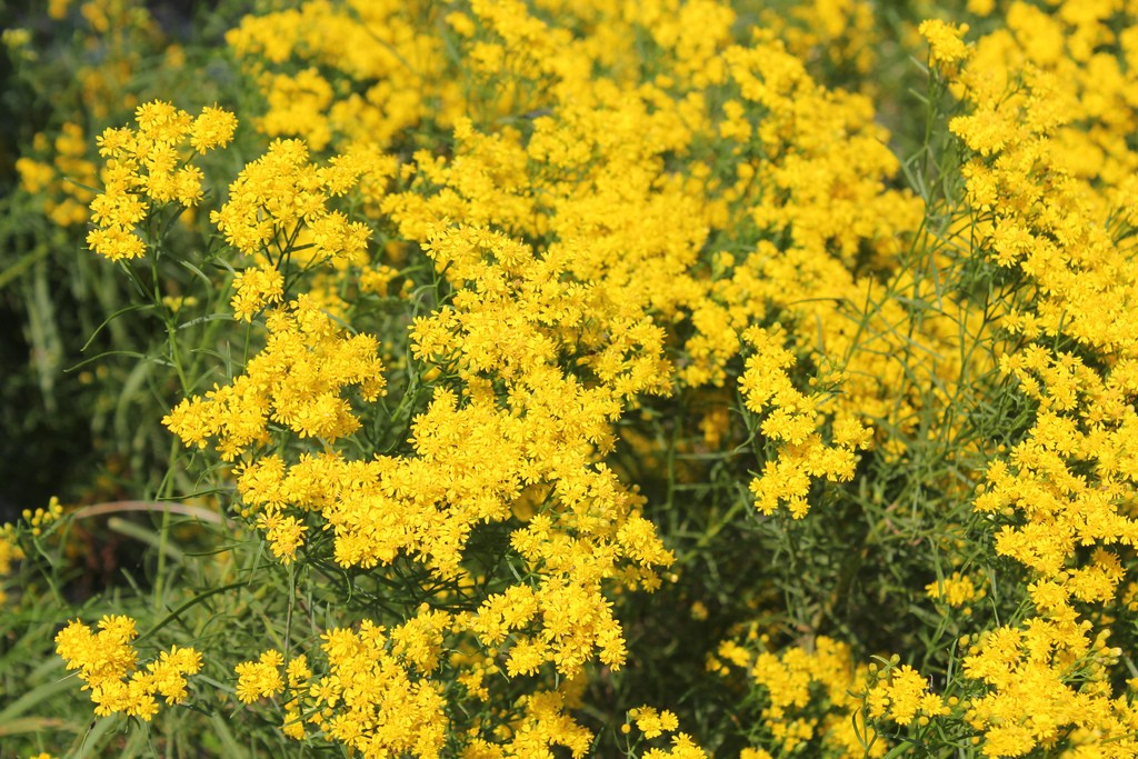 Goldenrod gets all the attention. . . Photo: Azucena Ponce, U.S. Fish & Wildlife Service