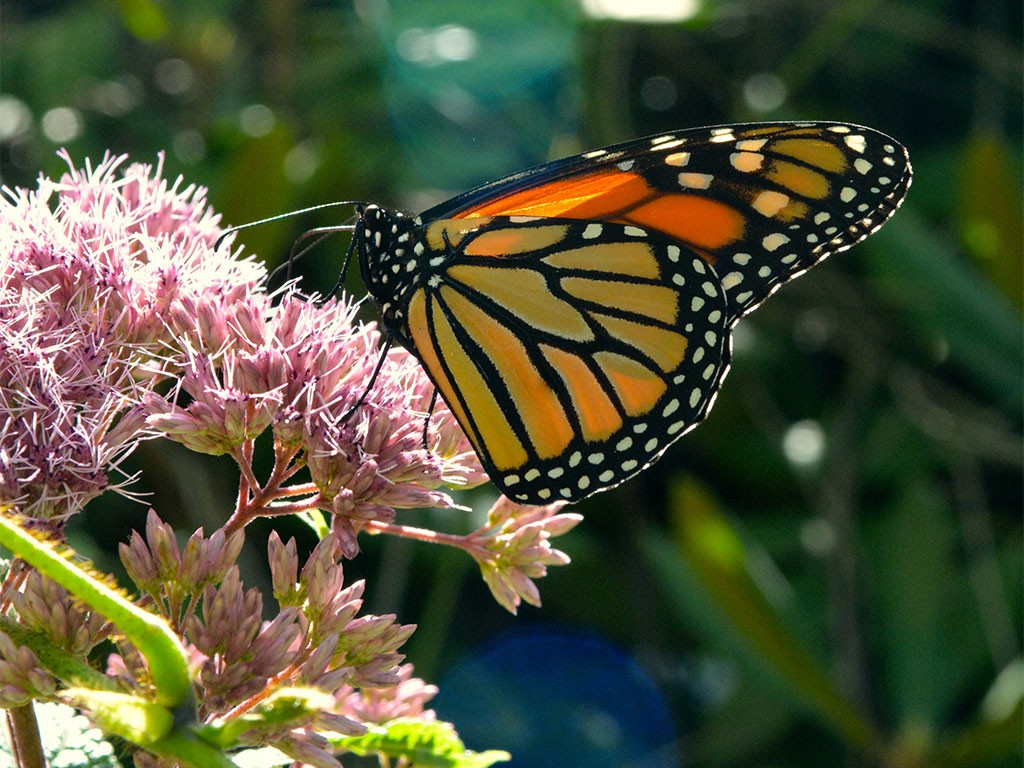 Monarch butterfy on Joe Pye weed in bloom. Photo: Tiffany Laufer, Creative Commons, some rights reserved