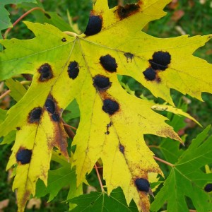 Tar spot on maple leaf. Photo: greenhem, Creative Commons, some rights reserved