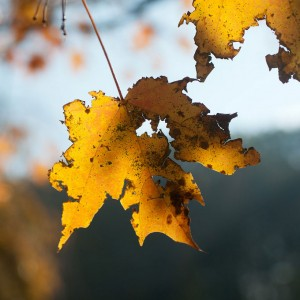 Tattered maple leaf. Photo: Wendy, Creative Commons, some rights reserved