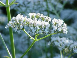 Valerian in bloom. Photo: Kurt Stuber, Creative Commons, some rights reserved