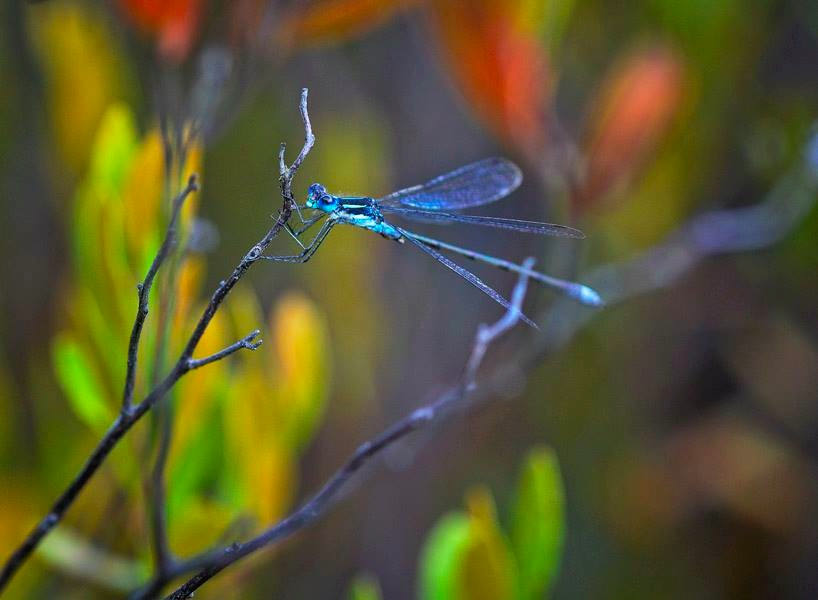 Damselfly. Archive Photo of the Day: Kristin V. Rehder