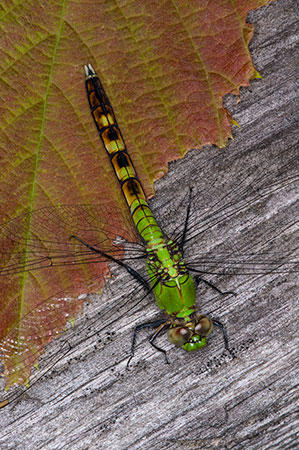 Eastern pondhawk dragonfly at Grass Lake. Archive Photo of the Day: Steve Diehl, Antwerp, NY