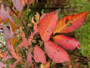 Poison sumac is uncommon and is found in marshy areas. Photo: Eliza Barrett, Creative Commons, some rights reserved