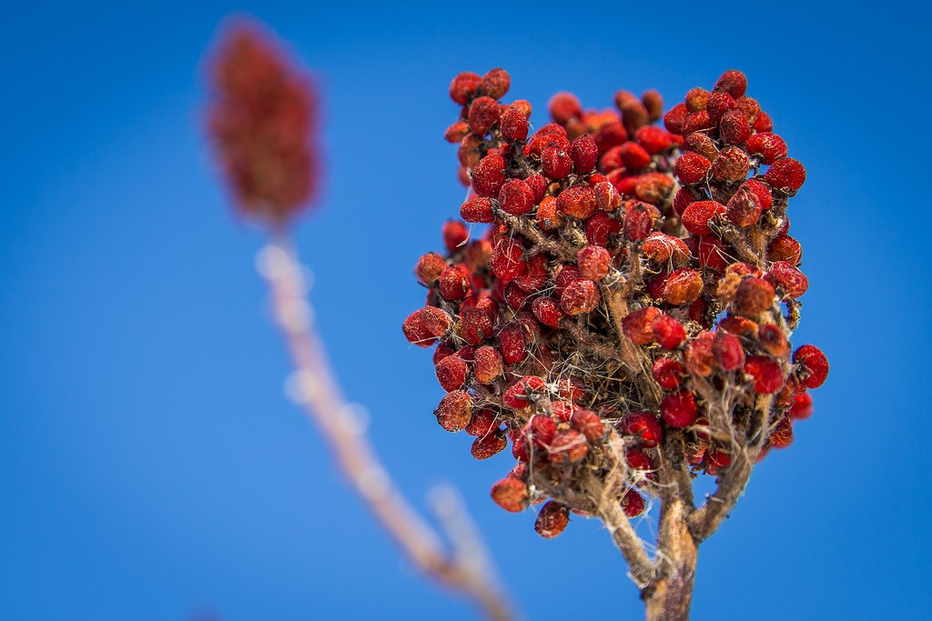 Sumac is an important nector source for pollinators. Photo: Brett Whaley, Creative Commons, some rights reserved