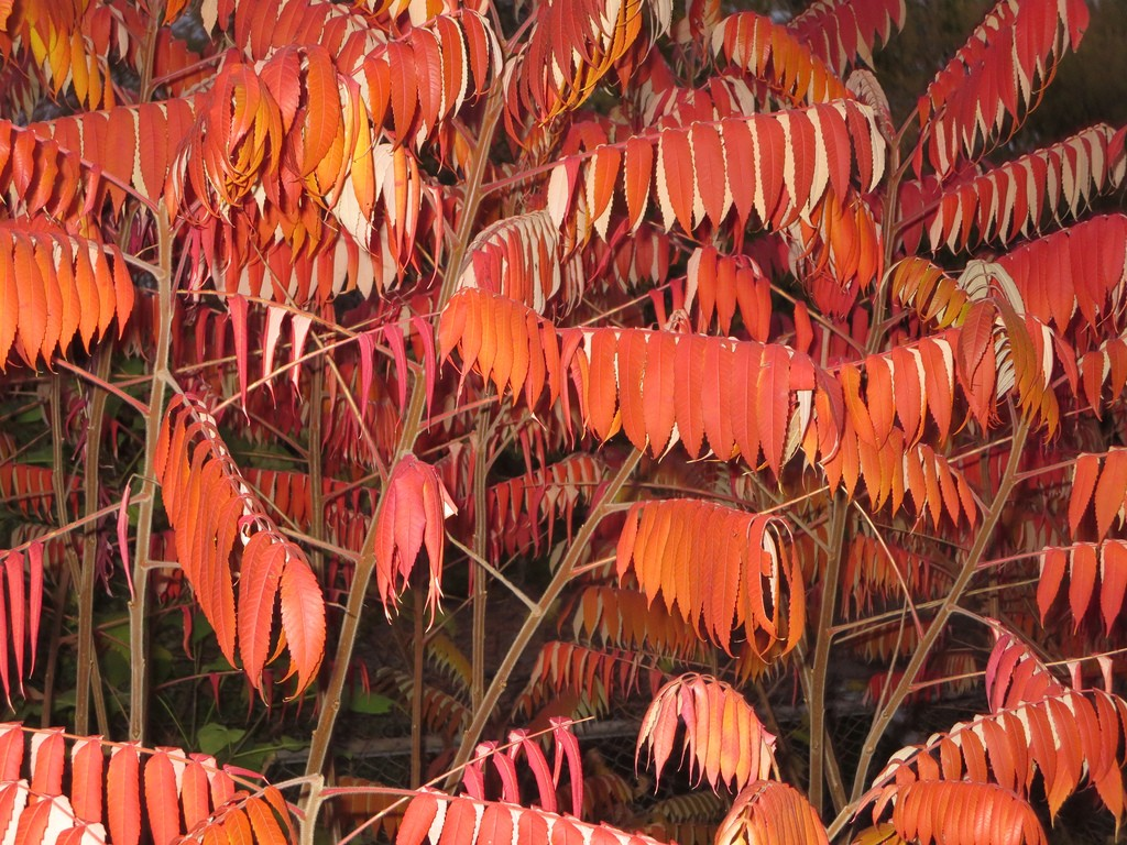 Sumac in fall color. Photo: Ann Fisher, Creative Commons, some rights reserved