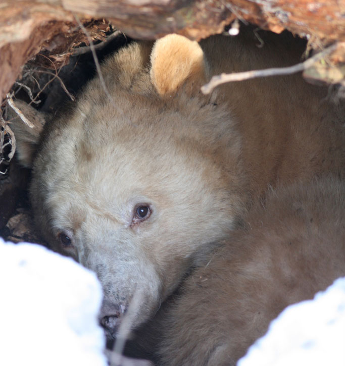 Kermodei bear in winter den under a tree stump. Photo: Jethro Taylor, Creative Commons, some rights reserved