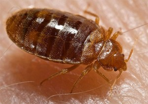 Bed bug nymph alight upon its favorite meal. Photo: public domain