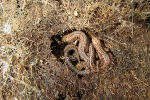 Being cold-blooded, reptiles and amphibians do not hibernate, but brumate. Photo: Eskling, Creative Commons, some rights reserved