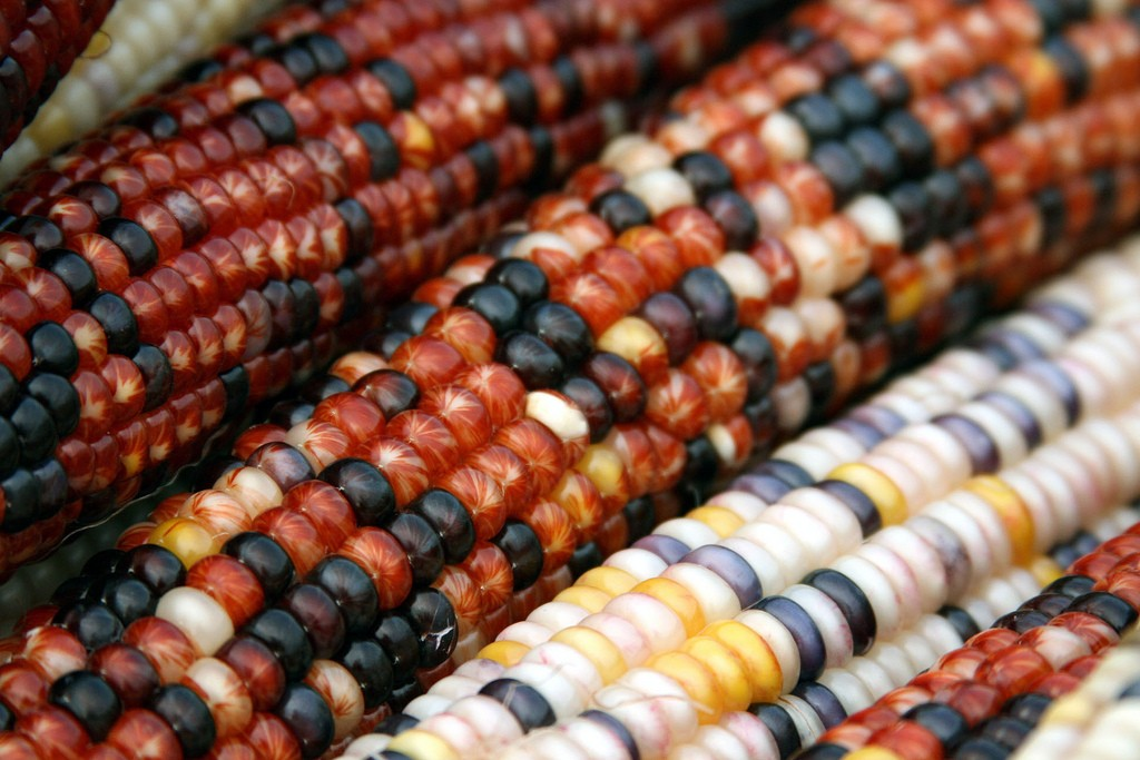 Indian corn. Photo: Renee, Creative Commons, some rights reserved