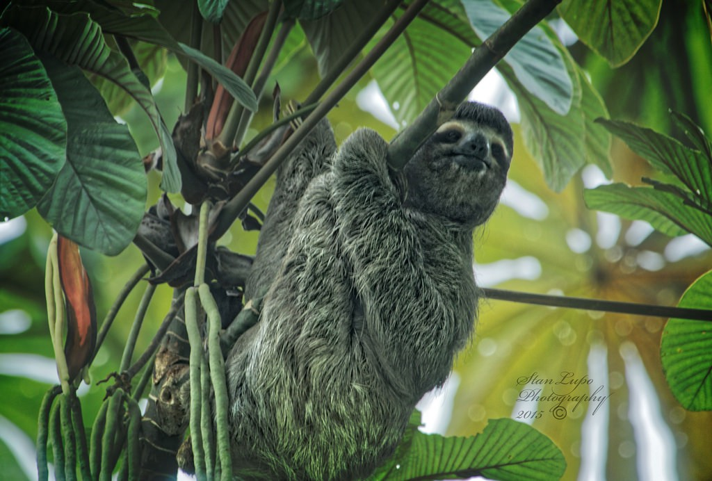 Ironically, sloths, though otherwise pretty slothful, do not hibernate. Photo: Stan Lupo, Creative Commons, some rights reserved