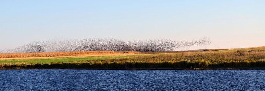 Red-winged blackbirds on the horizon. Photo: U.S. Fish and Wildlife Service