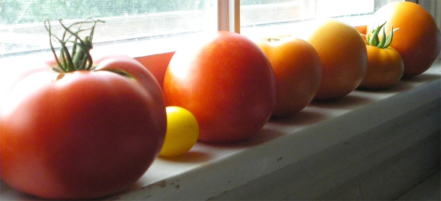 A suuny windowsill is the wrong place to ripen tomatoes. Photo: Renee, Creative Commons, some rights reserved