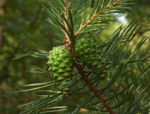 Scots pine with immature cones. Photo: Pleple2000, Creative Commons, some rights reserved