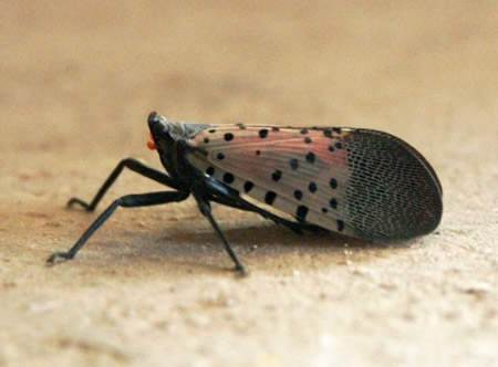 The spotted Nanternfly. Photo: Henripekka Kallio Creative Commons, some rights reserved