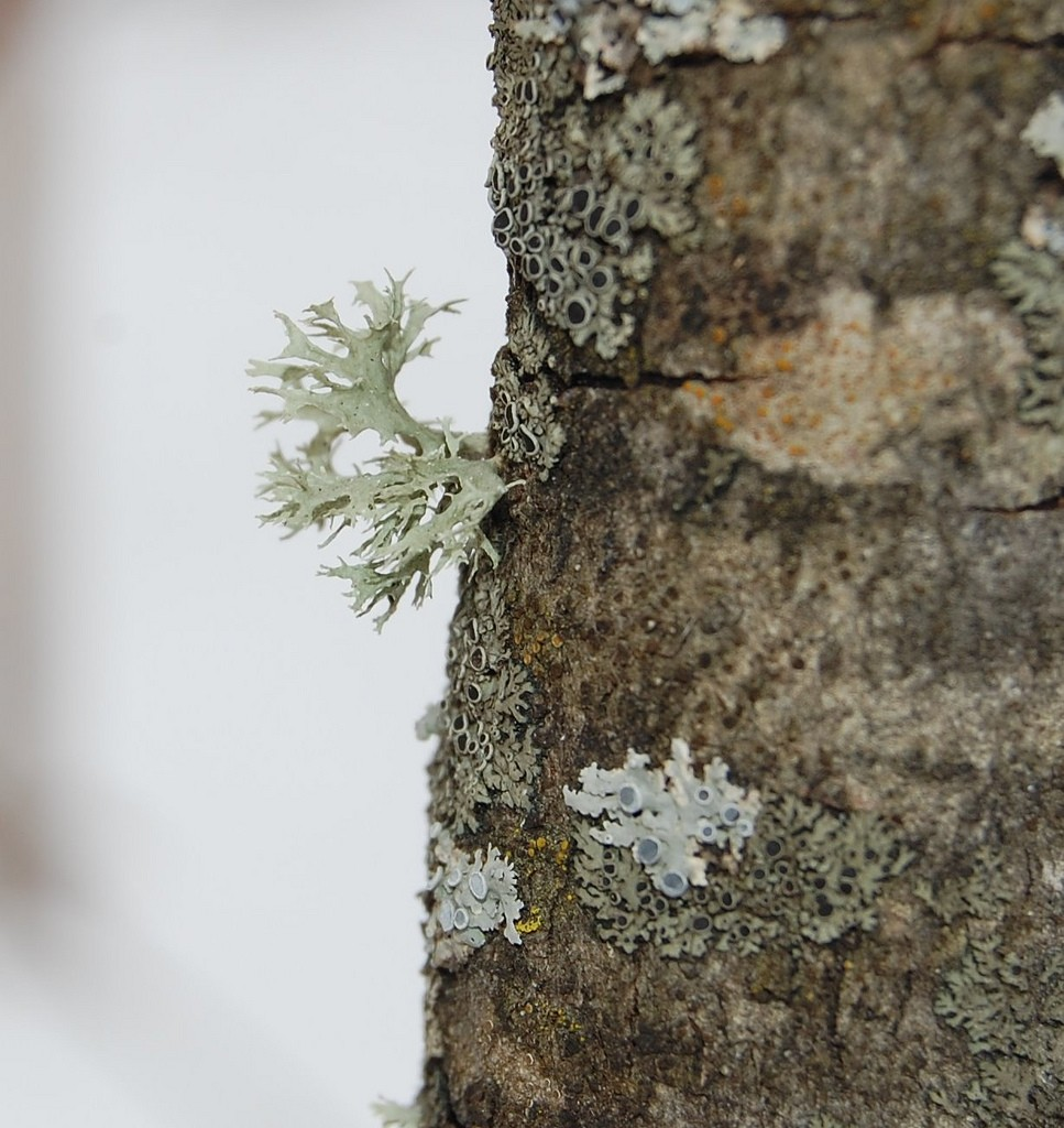 Lichen on a dead birch. Lichen is not the killer in this movie. It just discovered the body. Photo: Eli Sagor, Creative Commons, some rights reserved