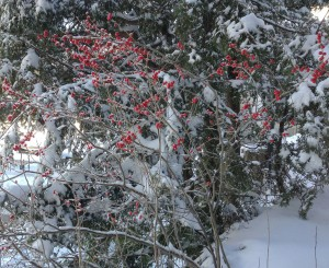 Winterberry, Ilex verticillata, is native to all of eastern North America from Florida to the Arctic Circle. Photo by Martha Foley