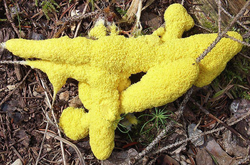 "Fuligo septica, the pleasantly nicknamed ""dog vomit"" slime mold. Photo: Siga, public domain"